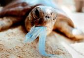 האדם משפיע לרעה על צבי הים: