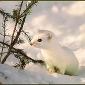 White Weasels