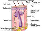 Skin glands
