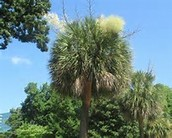 What is the Difference Between a Palm Tree and a Palmetto Tree?