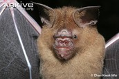 L is for the Lesser Great Leaf-Nosed Bat.