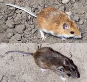 The evolution/structure of a deer mouse