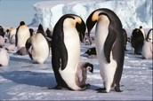 Pengiuns at Antarctica