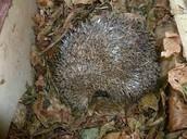 A hibernating hedgehog