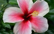 Hawaii's prettyist state flower