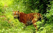 tiger in rain forest