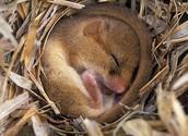 Mouse hibernating