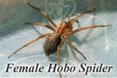 Female brown recluse spider