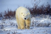 what polar bares eat and  wiegh