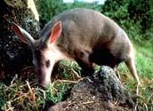 Aardvark in Wild