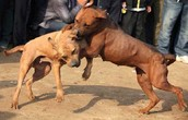 6. Approximately 250,000 dogs were placed in fighting pits nationwide.