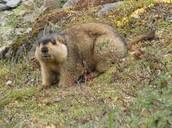 Characteristics of Marmots