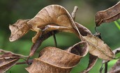 The Leaf-Tail Gecko