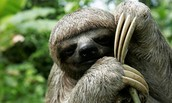 Picture of a Sloth