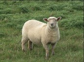 Dolly, the sheep