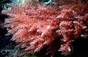 Los rodófitos