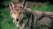 Measures Taken to Protect Red Wolves