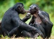 kissing bonobos