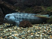 Atlantic Wolf Fish