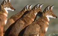 Ethiopian Wolf Pack