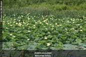 Where is the American Lotus found?