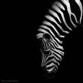 Malty A.K.A Zebra Debra