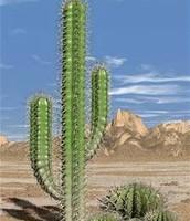 1.  Cactus