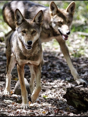 How Do Red Wolves Hunt ? And What Do They Hunt For? (Paragraph 2)