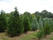 Come by to cut down your own Christmas tree!