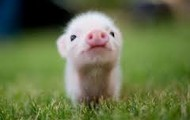 baby pig :)