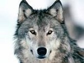Gray Wolf- Canis lupus