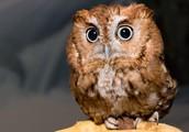 Team Eastern Screech Owl