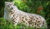 Snow Leopard Appearance
