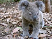 The Koala needs to be in nature.