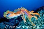 Giant Cuttlefish Sepia apama