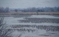 Roosting in the Platte River (Nebraska)