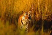 Tigers be Hunting