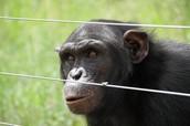 Charla Nash and the Chimpanzee