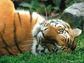 How do Tigers Adapt to Survive???