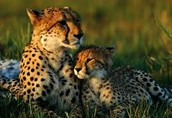 lepards