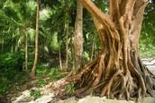 Strangler Figs: Ficus aurea