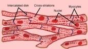 Cardiac Muscle Tissue Diagram