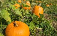 Explore the Pumkin Patch