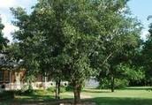 Texas Oak Tree