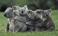 What do baby koalas do?