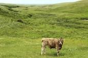 grassland cattle