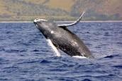 Megaptera novaeangliae/ Humpback whale