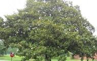 South magnolia