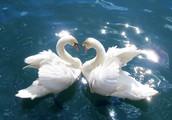 Трудно найти более красивую птицу, чем лебедь. Он для нас и символ красоты, и символ верности, а еще это самый желанный житель наших озёр.