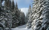 Winter Conifer